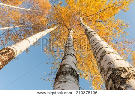 Smooth Trunks Of White Birch With Orange Leaves