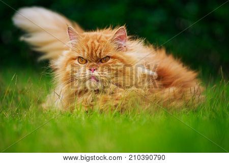 Brown Persian Cat On The Grass Field