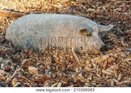 the pig lies in the corn heads Mangalica a Hungarian breed of domestic pig in piggery