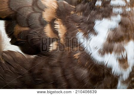 Fluffy colorful duck feather texture macro view. Bird plumage feathering pattern brown white colors