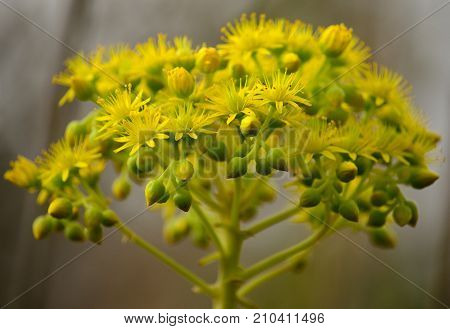 Beautiful flowers of aeonium in full splendor, Canary islands