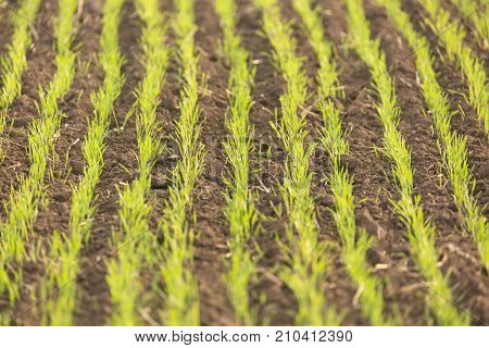Young green wheat seedlings growing in a soil. Agriculture and agronomy concept. Nature background with selective focus.