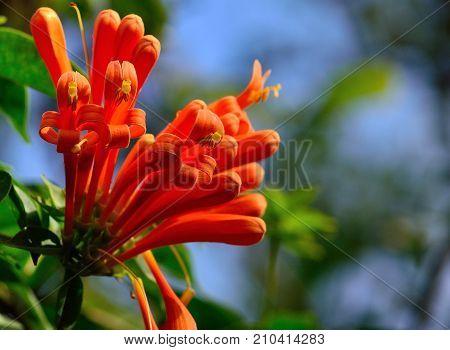 Splendid cluster of colorful orange flowers, Tecoma capensis