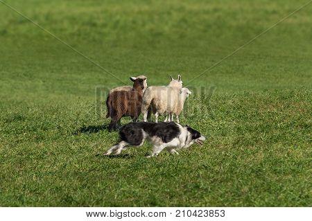 Sheep Dog Races Right Around Sheep (Ovis aries) - sheep dog herding trials