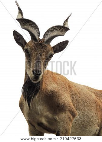 An expressive young markhor Capra falconeri. The goat is standing with its head up proudly. It has long spiral horns black beard thin funny ears and big eyes. Isolated on white background.