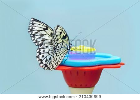 Idea leuconoe butterfly in front drinking water on blue background