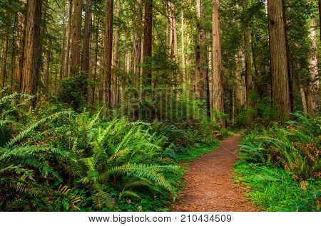 Giant trees and a hiking Path in Redwood Forest.