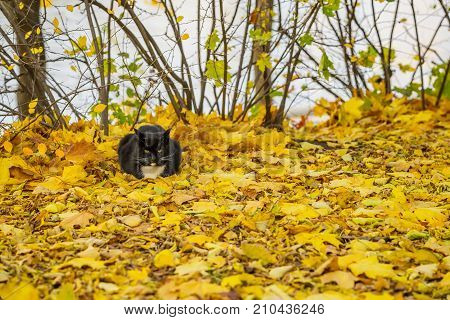 Warm autumn sunny day. Cute black cat resting in the park on fallen bright leaves. With place for your text, for background use