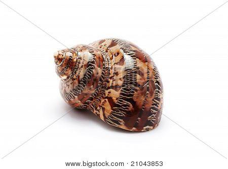 Beautiful Seashell
