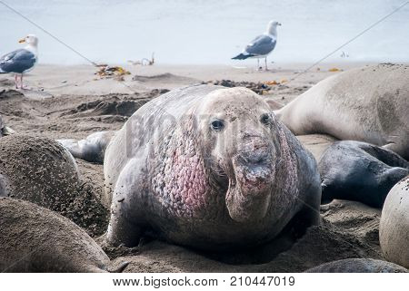 Male Elephant Seal with his harem of females in San Simeon California.