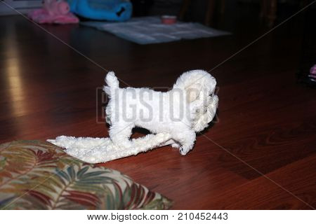 Bichon Frise. 9 week old pure breed female Bichon Frise Puppy. Beautiful bichon puppy plays with one of her toys.