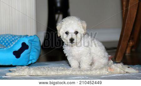 Bichon Frise. 9 week old pure breed female Bichon Frise Puppy. Bichon Puppy sits for her portrait.