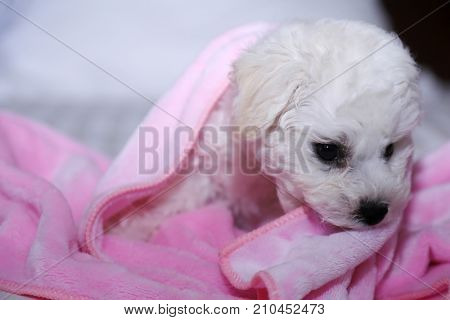 Bichon Frise. 9 week old pure breed female Bichon Frise Puppy. Puppy snuggles and cuddles on a bed in her pink blanket.