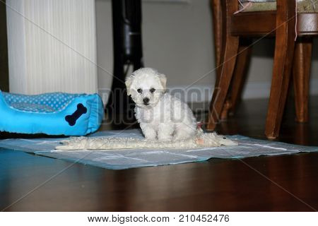 Bichon Frise. 9 week old pure breed female Bichon Frise Puppy. Bichon Puppy sits for her portrait.
