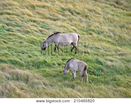 Wild horses in the steppe. Very beautiful image.