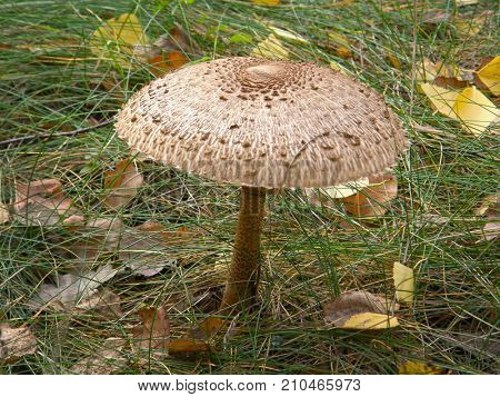 Forest mushroom umbrella. Very beautiful image