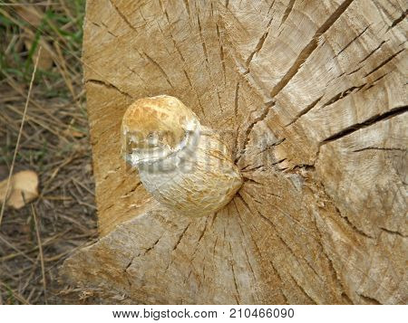 mushroom Pholiota destruens. Very beautiful image