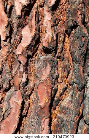 Bark of Pine Tree Close Up for background