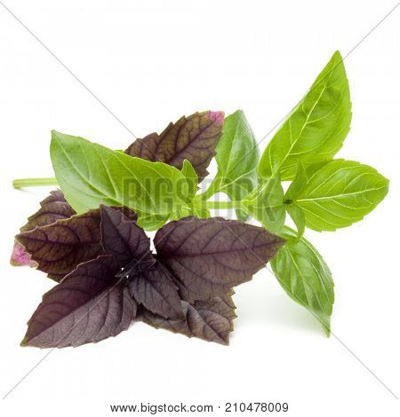 Close up studio shot of fresh green and red basil herb leaves mix isolated on white background. Sweet Genovese basil and Purple Dark Opal Basil.