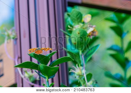 The Comma Butterfly On Leaf Of Green Plant