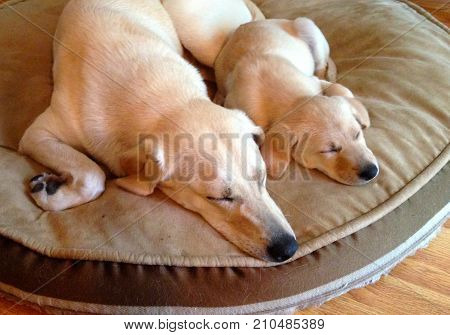 Two half sisters taking a nap, Annie and Molly, so cute