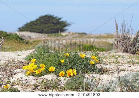 Bright orange flowers of a clump of California poppies (Eschscholzia californica variety maritima) growing on a sand dune at Asilomar State Beach in Pacific Grove near Monterey