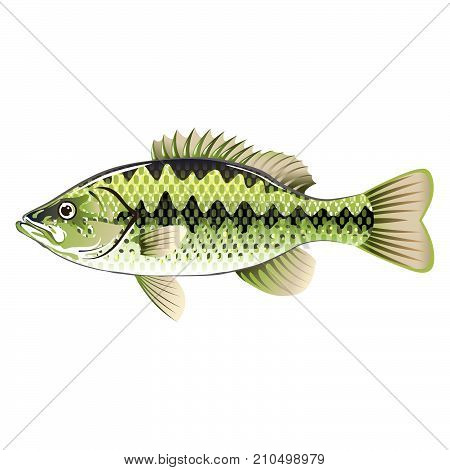 Largemouth spotted green American bass game fish