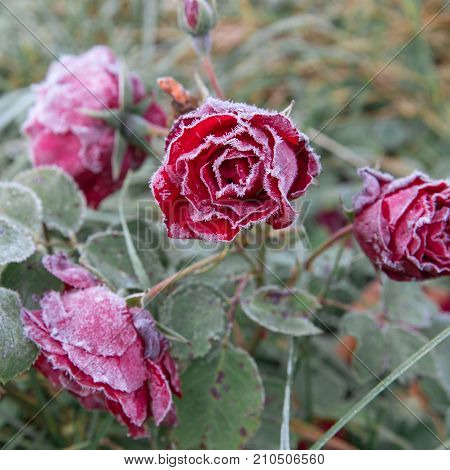 Winter in the garden. Hoarfrost on the petals of a pink rose, the first frost.