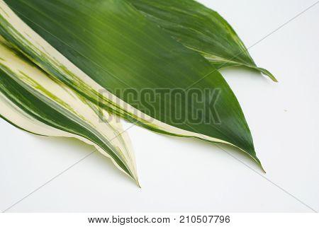 Aspidistra leafe with white streepes latior Variegate.