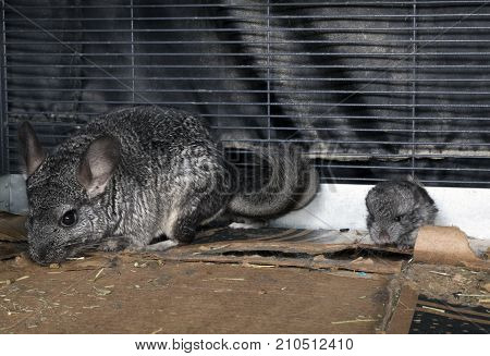 A Baby pet Chinchilla with it's mom.