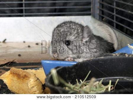 A standard gray baby pet Chinchilla in cage.