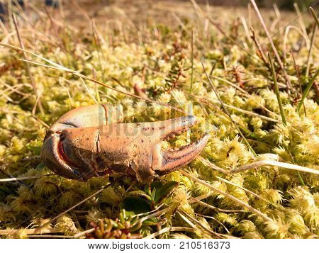 Claw Of Crab. Broken And Dry Claw Isolated  On Mossy Stone. Place Where Seaguls Feed Their Catches.