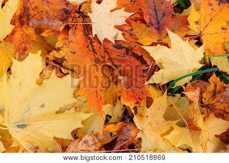 Yellow maple leaves under my feet. The carpet of dry leaves. Fallen leaves. Golden autumn. Walk in autumn Park. The background of yellow leaves