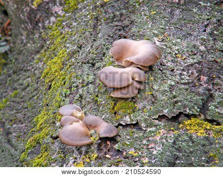 mushroom Pleurotus ostreatus. Very beautiful image