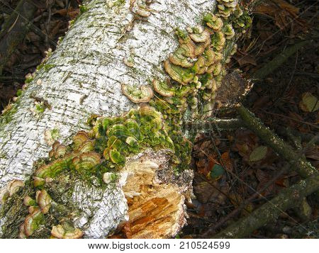 mushroom Trichaptum biforme. Very beautiful image