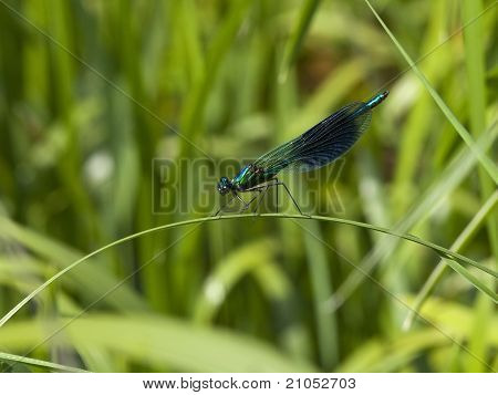 a male banded agrion also known as banded demoiselle or agrion splendens resting on a leaf poster