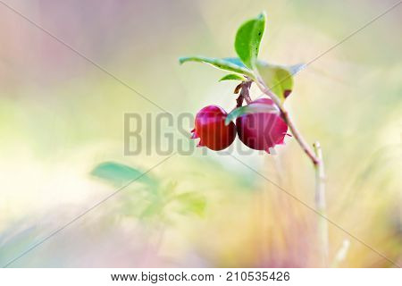 Macro shot of cowberry growing in forest. Shallow depth of field.