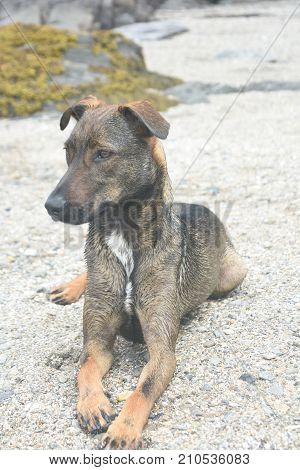 cute pet cunucu dog resting on a beach