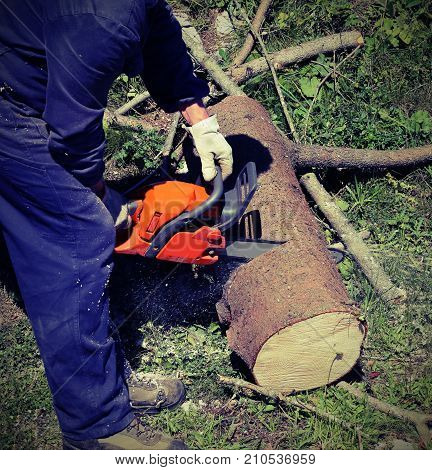 Woodcutter With Protective Workwear Cutting A Large Trunk With T