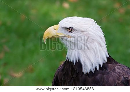 bald eagle or haliaeetus leucocephalus bird of prey profile isolated against backround