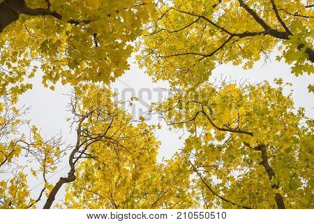 Autumn october sunny day, golden crown of trees from below upwards. Outgoing perspective of the trunks in the sky. Natural background