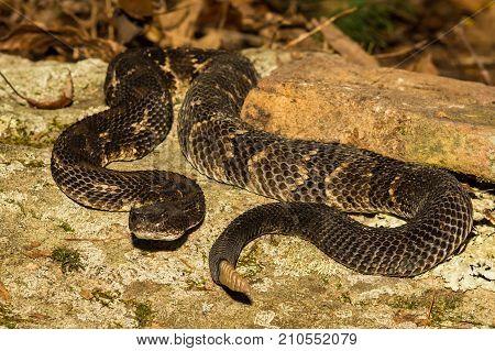 A black phase Timber Rattlesnake basking on a rock.