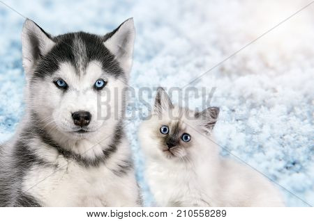 Cat and dog together on bright light snow background, neva masquerade, siberian husky looks straight. Christmas mood.