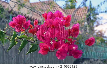 Bougainvillea flowers growing in Tenerife,Canary Islands,Spain.Bougainvillea.Floral background.Selective focus. poster
