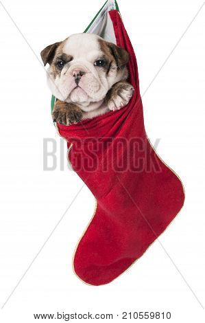 Cute English bulldog puppy hanging in a Christmas stocking.