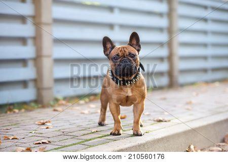 red french bulldog posing on a sidewalk