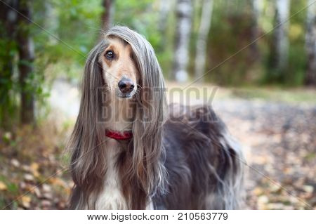 Smart dog  Afghan hound with ideal data stands in the autumn forest and looks into the camera. A long bang closes her one eye. Picturesque portrait of a dog.