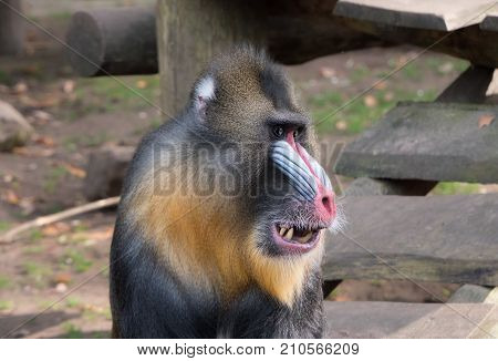 Close-up portrait of a mandrill monkey with a colorful face