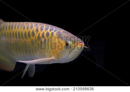Asian arowana copy space using as background or wallpaper.