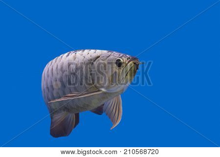 Arowana copy space using as background or wallpaper.